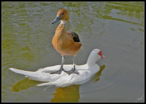 Fågel använder fågel för att slippa våta fötter