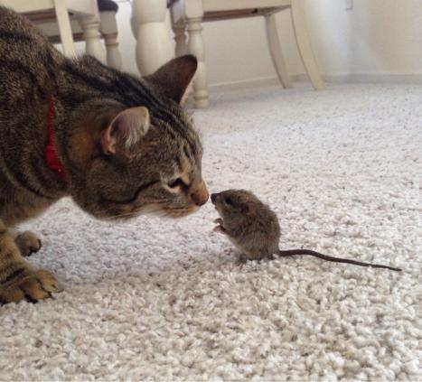 Katt morsar på mus