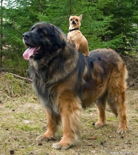 Liten hund använder större hund som häst